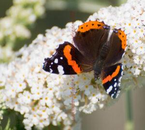 Die Budleja und die Schmetterlinge
