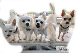 Die Chihuahua-Banausenbande